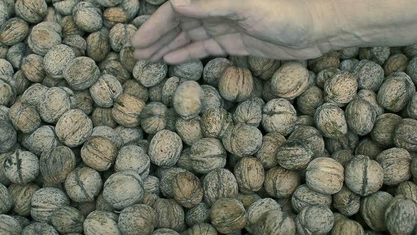 walnut harvest agriculture