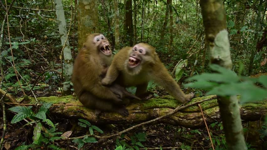 Aggressive Assam macaque, male monkey