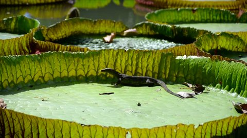 Huge monitor lizard is hunting near Victoria Amazonica Giant Water Lilies