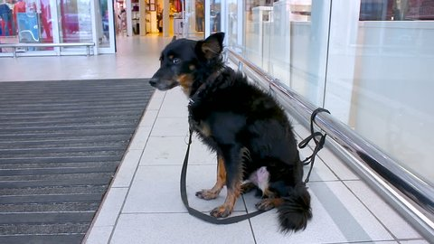 A black little dog is waiting for the owner in the lobby of the store .. The dog is trembling, it is cold, tied with a leash to the perilla.
