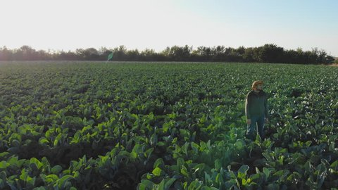 Agronomist with cowboy hat  in Cabbage green salad field aerial