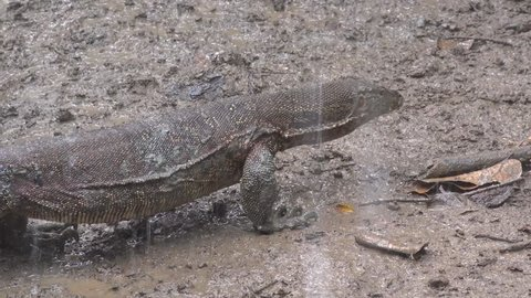 Water Monitor Lizard walk in mud in lowland rainforest in heavy rainfall close up
