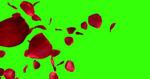 red rose petals screen transition horizontal flying flowing on chroma key, green screen background, with alpha channel, holiday love, relationship and valentine day