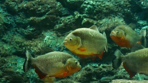 Red piranha in aquarium.