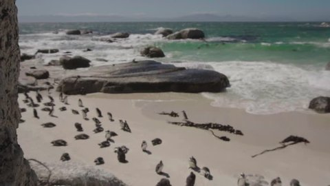 Slow motion: Cute Colony of African Penguins at Boulders Beach, close to Simons Town. South Africa