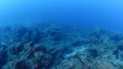 eagle ray underwater fish swim elegant