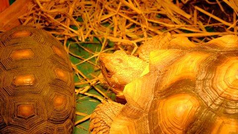 tortoise Turtle Testudo hermanni hermann's eats watermelon and green leaves cute endangered animal tropical wildlife eating fruit, Testudo hermanni turtle hiding head in armor 4K 2160p UltraHD footage