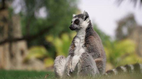 Lemur ring-tailed sitting 4K
