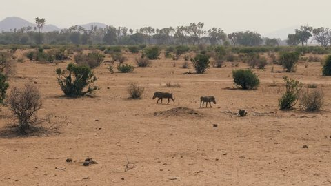 Wild African warthogs are looking for food among the bushes in the African desert. In the dry season, little greenery, and the land is dusty and brown. Hot sunny day
