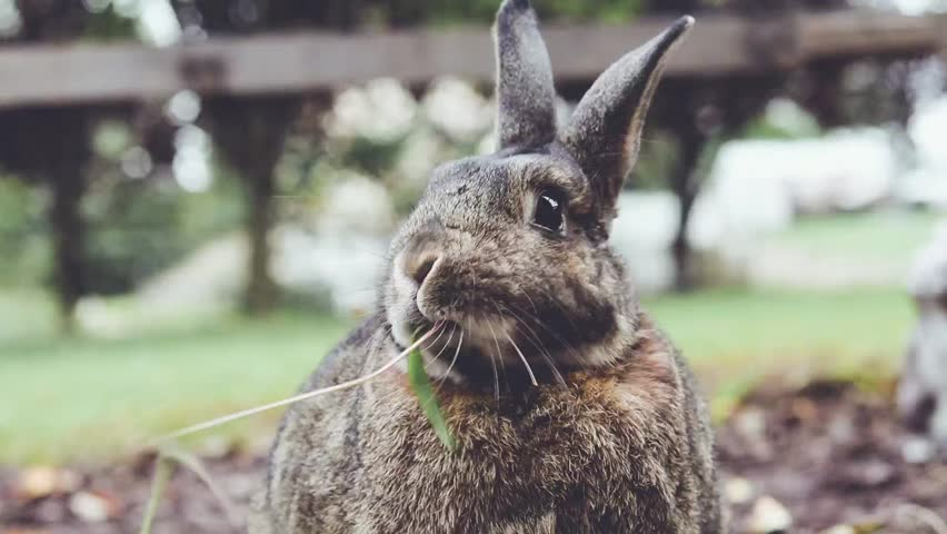 Small Gray Funny Bunny Rabbit Stock Footage Video 100 Royalty