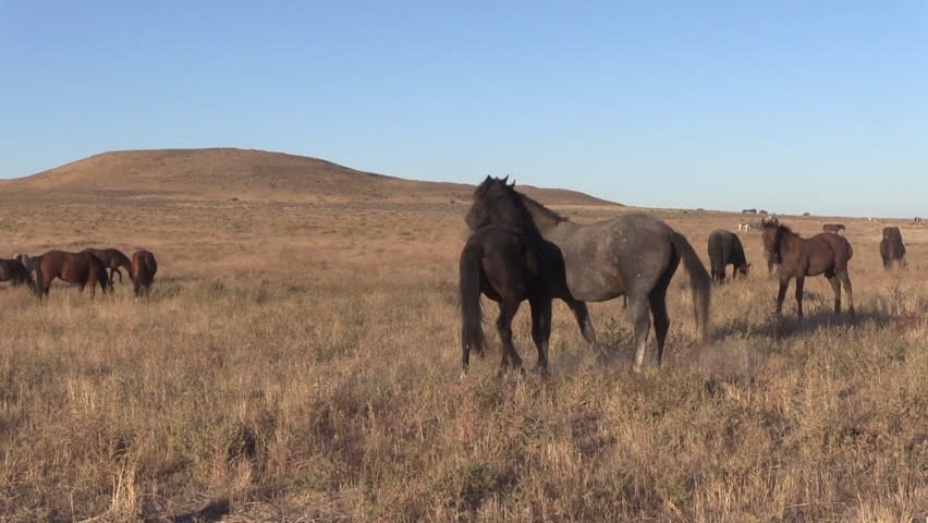 Wild Horse Stallions Sparring | Shutterstock HD Video #1018125325