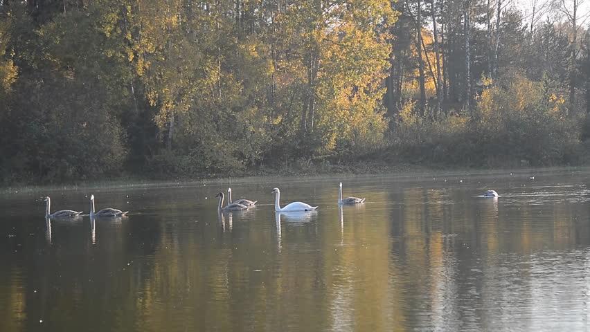 Beautiful Swan bird in the pond, animal wildlife | Shutterstock HD Video #1018163515