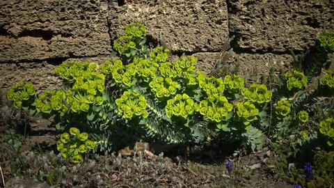Euphorbia is a very large and diverse genus of flowering plants