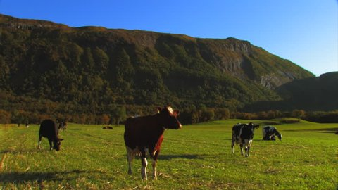 A herd of curious cows look into the camera as they stand in a green field. Two cows play and chase each other. WIDE ANGLE view.
