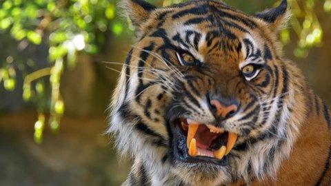 Sumatran tiger (Panthera tigris sondaica) yawning