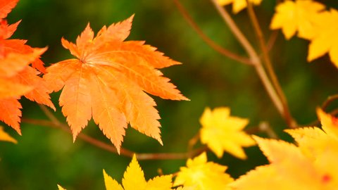 Nature Video Maple leaf or Acer pseudoplatanus. The wind is blowing a Maple leaves are changing colors in the autumn with blur background,Nature concept
