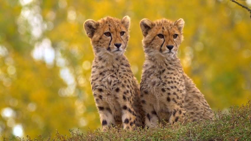 Juvenile cheetah siblings (Acinonyx jubatus)
