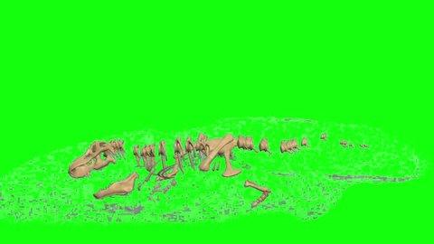 Evolution Trex Skeleton On Green Screen Backround Animation..3d dinosaur