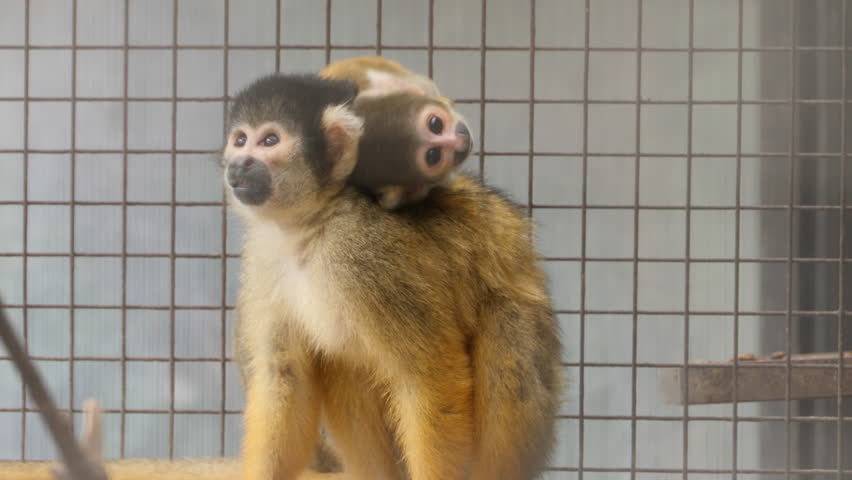Squirrel monkey mother is sitting facing the camera, with baby on her back . The baby is looking around, scratches itself with a leg. The mother jumps forward toward the camera. | Shutterstock HD Video #1019338285