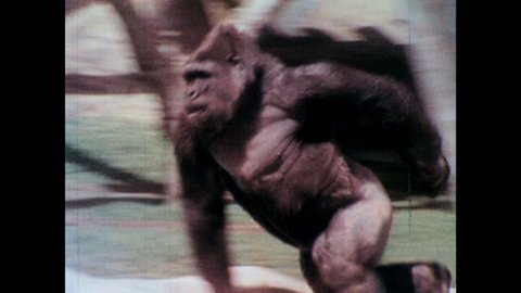 1970s: Gorilla runs. Gorillas wrestle.