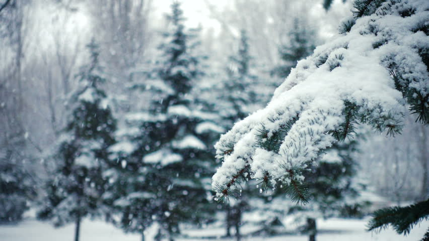 Snow falling at the fir trees branches  | Shutterstock HD Video #1019457535