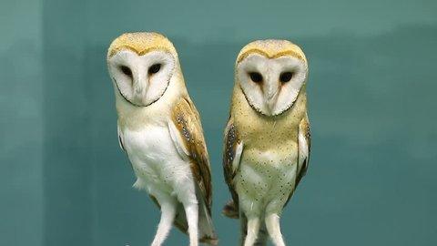 Couple of two beautiful barn owls.