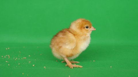 4K Chroma with a day old chick eating. The yellow chick bites the granites of the feed.