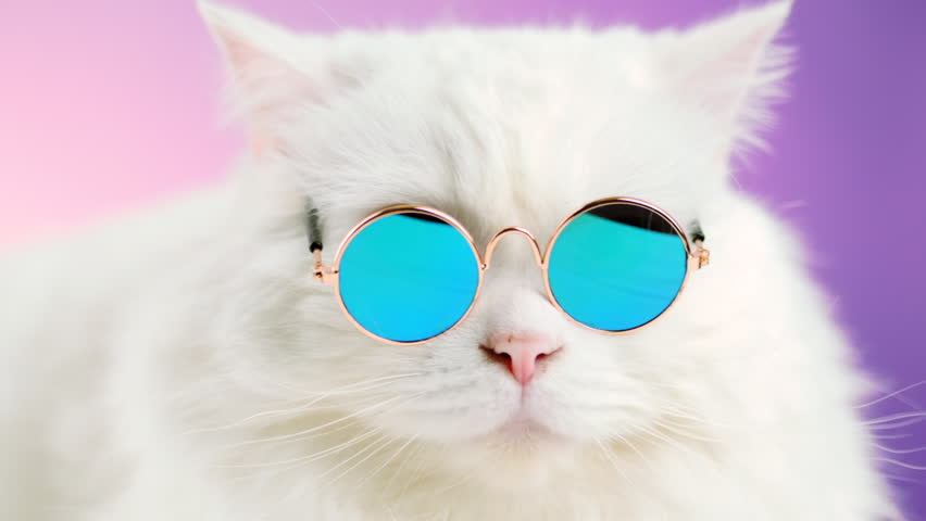 Portrait of highland straight fluffy cat with long hair and round sunglasses. Fashion, style, cool animal concept. Studio footage. White pussycat on violet background | Shutterstock HD Video #1019868475