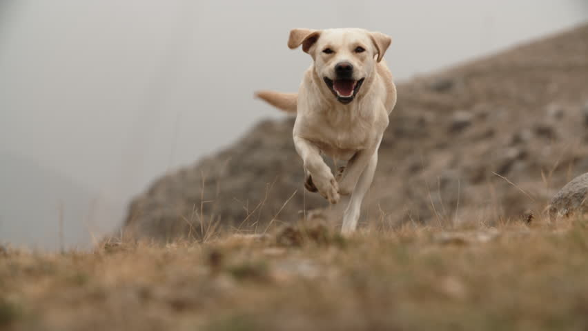 Playful happy golden labrador dog running in grass in mountins, ears are flopping in air, doggy runs in direction of camera - slow motion shot