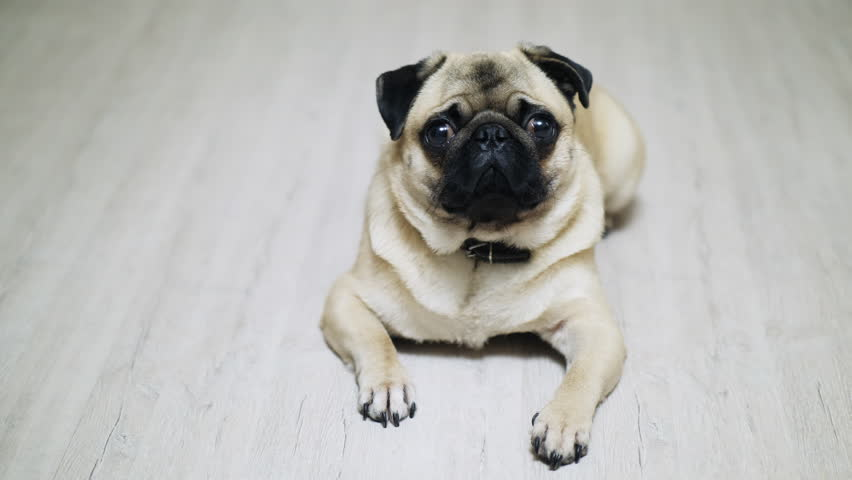 Cute sad pug dog lying on the laminate floor, looking at camera. | Shutterstock HD Video #1020266545
