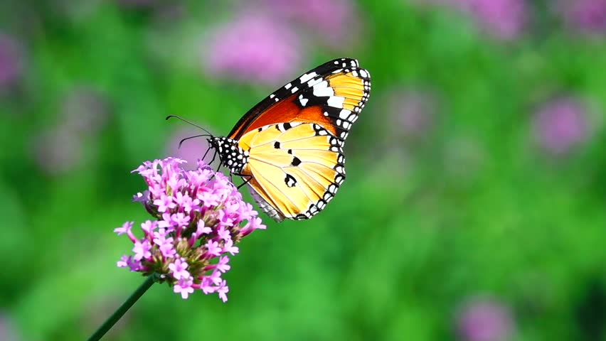 HD 1080p super slow Thai butterfly in pasture VERBENA BONARIENSIS flowers Insect outdoor nature