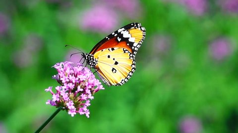 HD 1080p super slow Thai butterfly in pasture flowers Insect outdoor nature