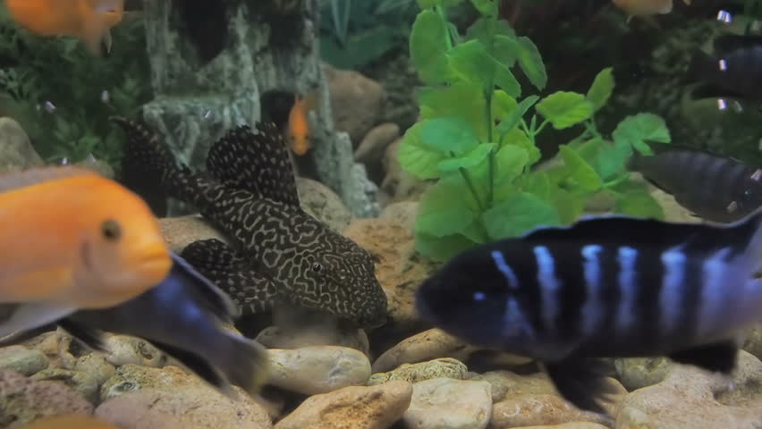 Catfish In A Cichlid Aquarium Stock Footage Video 100 Royalty Free 1020581815 Shutterstock