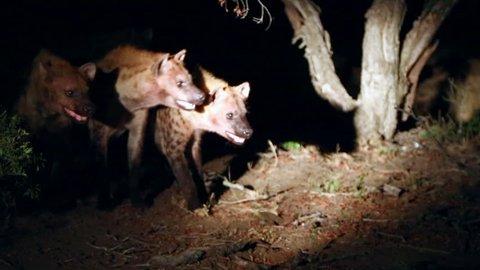 Clan of Hyenas Gather Pan to Male Lion Feeding on a Kill