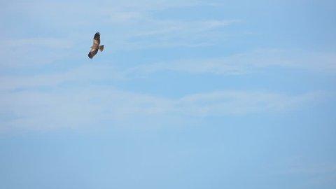 Short toed snake eagle spreading wings  soaring in cloud blue sky  ,4K video. Bird of prey in flight ,low angle view.