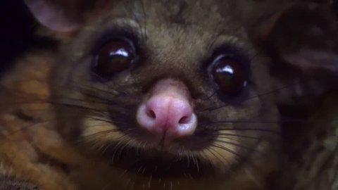 Close up of Australian possum