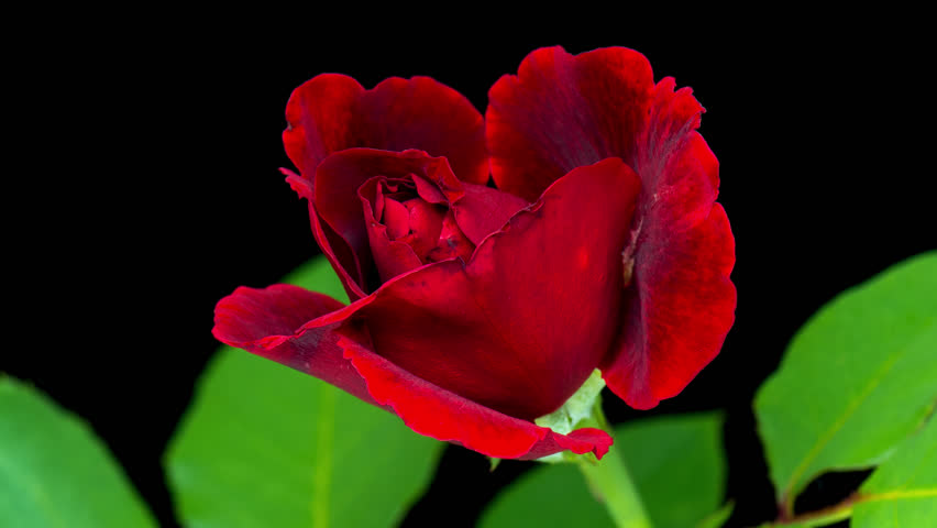 4K Time-Lapse of dark Red Rose Flower Blooming on Black Background. Single Beautiful Red Rose from Bud to big Flower, with Green Leaves - studio shot.