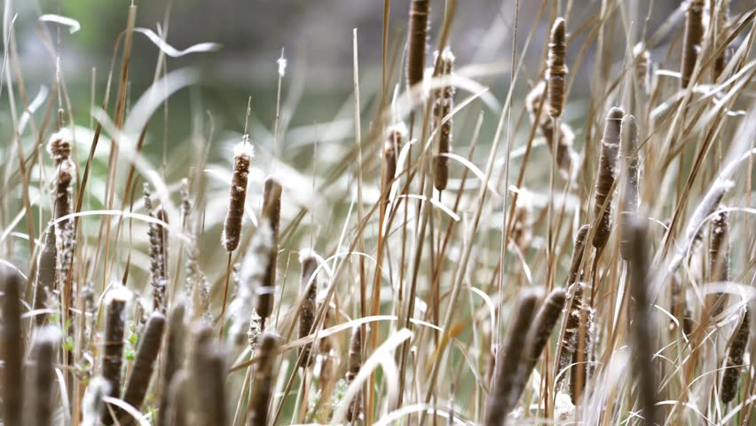 Bull rushes in the wind. | Shutterstock HD Video #1020894475