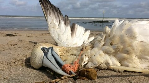 dead northern gannet trapped in plastic fishing net washed ashore on Kijkduin beach The Hague, the Netherlands