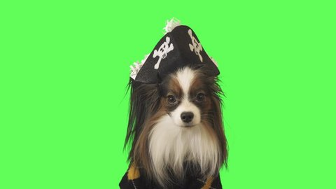 Beautiful dog Papillon in a pirate costume is looking at camera on green background stock footage video