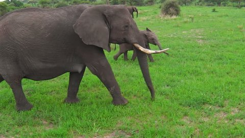 African elephants with a calf elephant in Tarangire National Park of Tanzania in Africa.