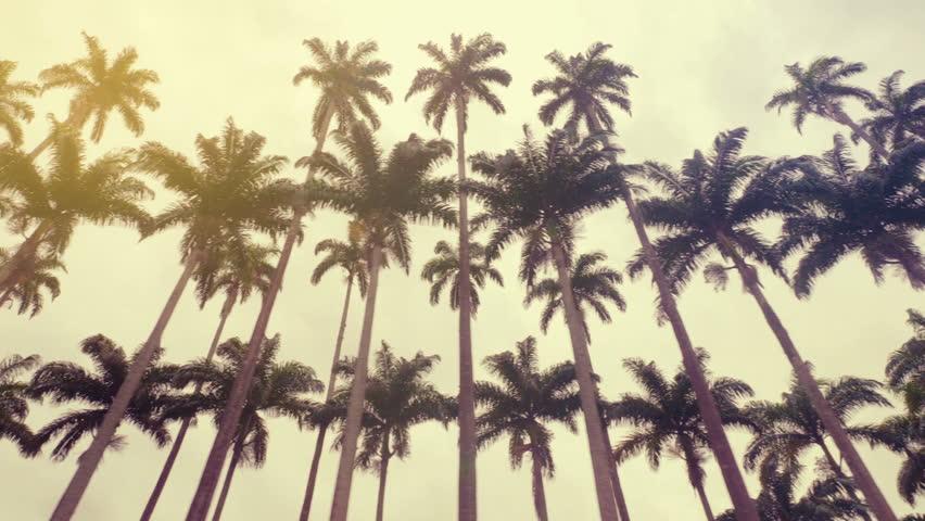 Royal palms, symbol of Rio de Janeiro, Brazil. Low angle shot   Shutterstock HD Video #1021424905