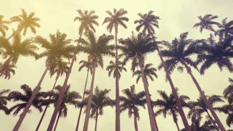 Royal palms, symbol of Rio de Janeiro, Brazil. Low angle shot