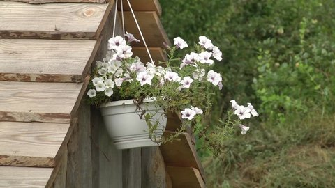 Hanging flower pot with white petunia flowers (Petunia hybrida). White petunias in flower pots.
