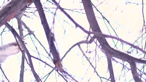 Bottom view of gray squirrel jumping from branch to branch of a tree in a sunny winter day. Close up for cute squirrel jumping in the snowy tree against bright sky background.