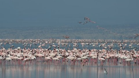 Colony of Flamingos on the Natron lake. Lesser Flamingo Scientific name: Phoenicoparrus minor. Tanzania, Africa.