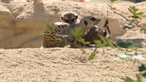Two meerkats stand side by side, grooming each other, and then they begin to play fight. One rolls down a small incline onto its back.
