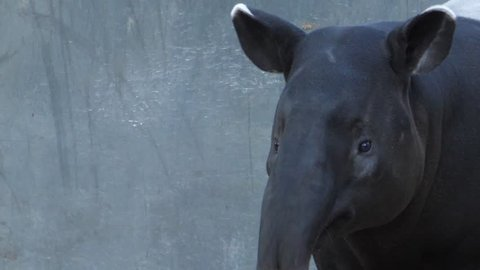 tapir standing moving it's head and nose to the left