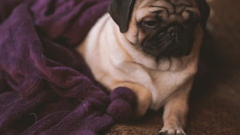 Funny pug, puppy wrapped in a blanket. Portrait of cute pug dog with big sad eyes and cute face, beige Spitz with huge eyes