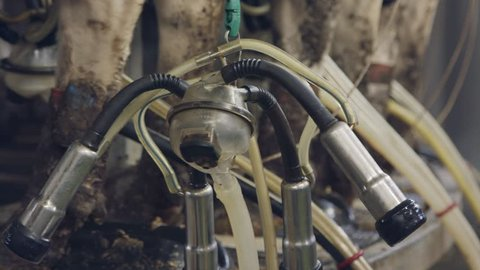 Close up on a worker milking cows on a dairy farm